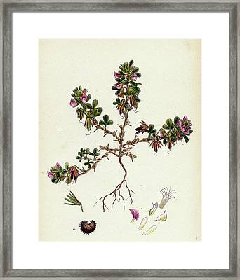 Ononis Reclinata Small Spreading Rest-harrow Framed Print