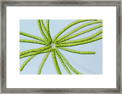 Ophiocytium Sp. Heterokont Alga Framed Print
