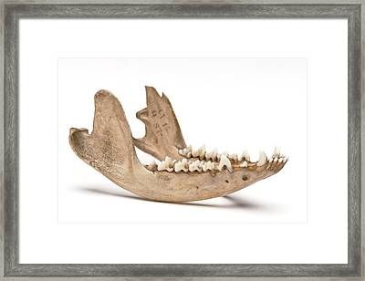 Opossum Jawbone Framed Print by Ucl, Grant Museum Of Zoology