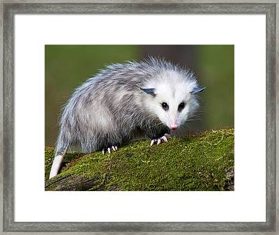 Opossum  Framed Print by Paul Cannon