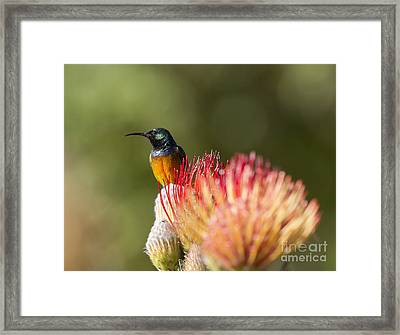 Orange-breasted Sunbird Framed Print