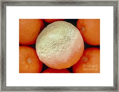 Orange Covered With Greenish Mould Framed Print