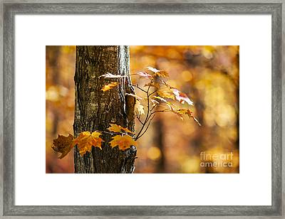 Orange Fall Maple Framed Print