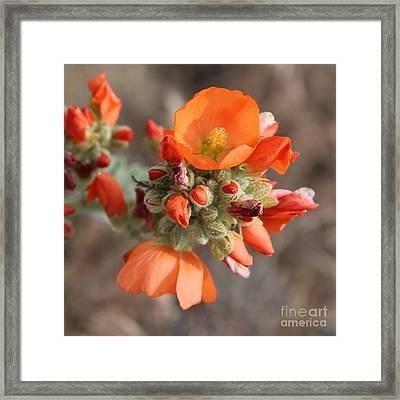 Orange Globe Mallow Closeup Framed Print