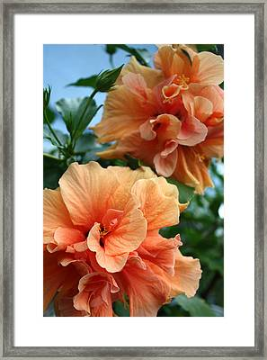 Orange Hibiscus Pair Framed Print