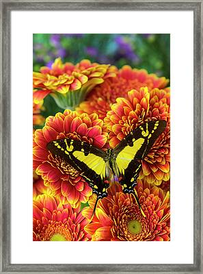 Orange Kite Swallowtail Butterfly Framed Print by Darrell Gulin