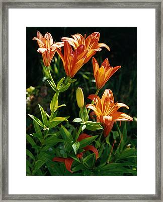 Orange Tiger Lilies Framed Print
