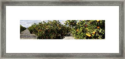Orange Trees In A Field, Vinaros Framed Print by Panoramic Images