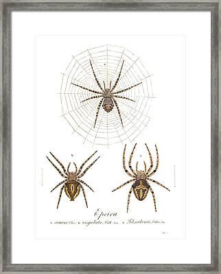 Orb Web Spiders Framed Print