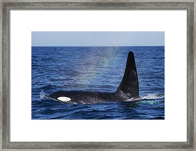 Orca Surfacing Hokkaido Japan Framed Print by Hiroya Minakuchi