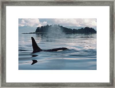 Orca Surfacing Johnstone Strait Bc Framed Print