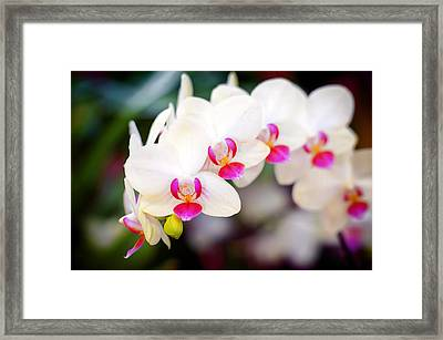 Orchid Beauty Framed Print by Tammy Smith
