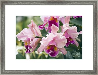 Orchid Cattleya Sp Framed Print