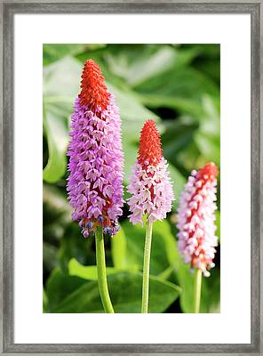 Orchid Primrose (primula Vialii) Flowers Framed Print by Adrian Thomas