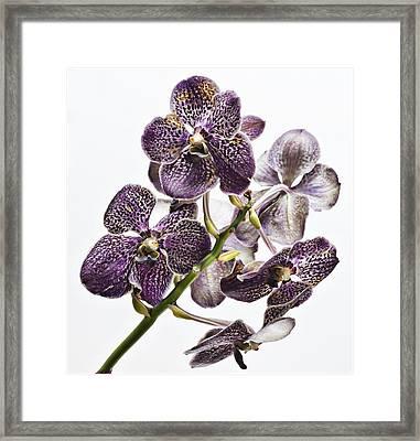 Orchid Study Framed Print by Robert Ullmann