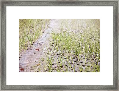 Organic Onion Crop Framed Print by Ashley Cooper