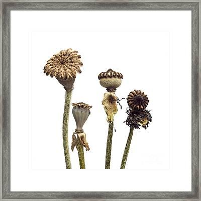 Oriental Poppy Framed Print by Bernard Jaubert