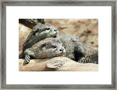 Oriental Small-clawed Otters Framed Print