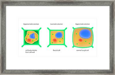 Osmosis In Plant Cells Framed Print