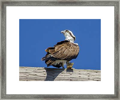 Osprey With Fish In Talons Framed Print by Dale Powell