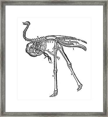 Ostrich, 16th Century Framed Print