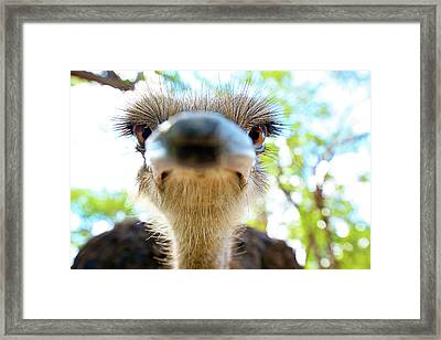 Ostrich Struthio Camelus Australis Framed Print by Shannon Benson