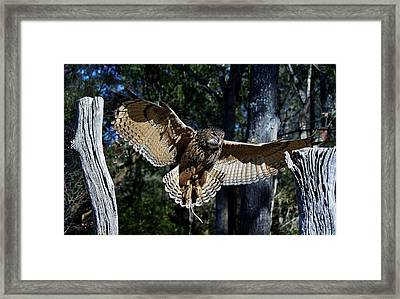 Owl In Flight Framed Print by Paulette Thomas