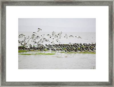 Oystercatchers Roosting At High Tide Framed Print by Ashley Cooper