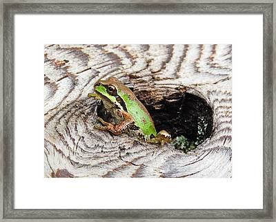 Pacific Chorus Frog Framed Print