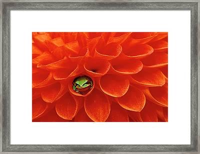 Pacific Chorus Frog In Dahlia Framed Print