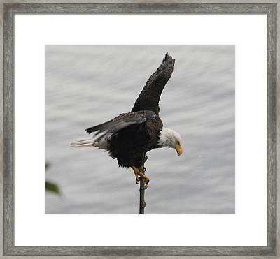 Pacific Northwest Eagle II Framed Print by Mary Gaines
