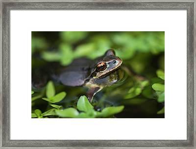Pacific Tree Frog  Pseudacris Regilla Framed Print