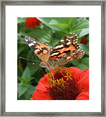 Painted Lady Butterfly  Framed Print by Diannah Lynch