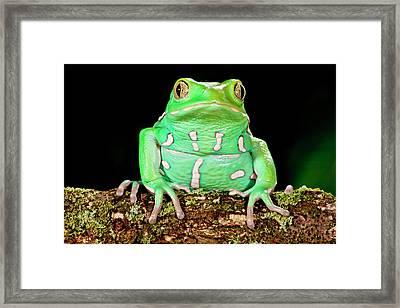 Painted Monkey Frog, Phyllomedusa Framed Print by David Northcott