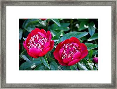 Pair Of Red Peonies Framed Print by Mandy Judson
