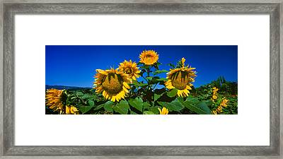 Panache Starburst Sunflowers Framed Print by Panoramic Images