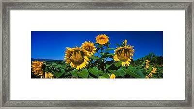 Panache Starburst Sunflowers Framed Print