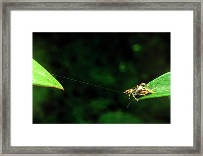 Panamanian Jumping Spider Eris Aurantia Framed Print by Martin Dohrn/science Photo Library