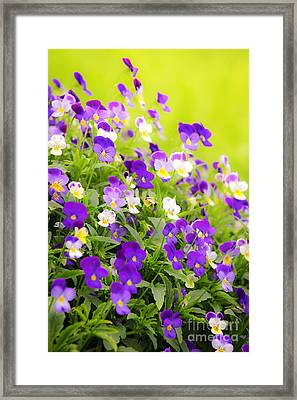 Pansies Framed Print by Elena Elisseeva