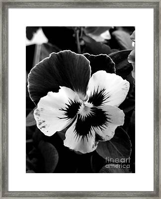 Pansies Framed Print