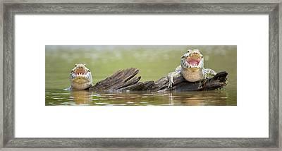 Pantanal Caiman, Pantanal Wetlands Framed Print