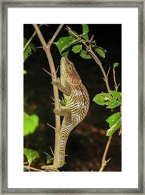 Panther Chameleon (furcifer Pardalis) Framed Print by Photostock-israel