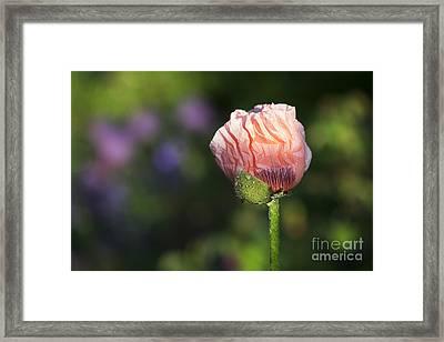 Papaver Orientale Carneum Poppy Framed Print by Tim Gainey