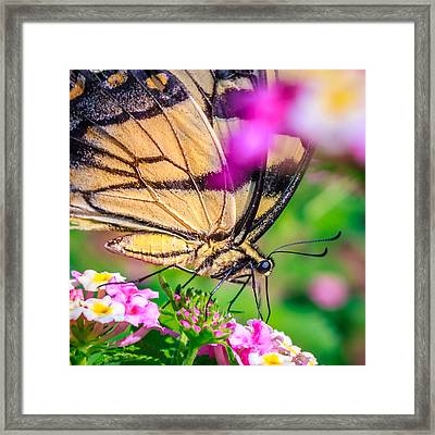 Framed Print featuring the photograph Papilio Glaucus by Rob Sellers