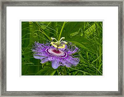 Passion Flower Framed Print by Geraldine Scull