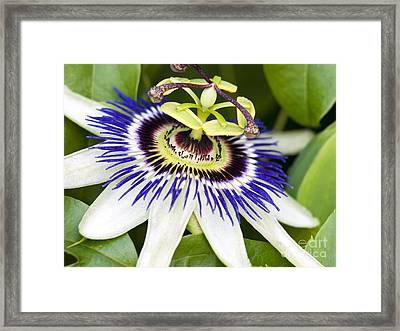 Passion Flower Passiflora Caerulea Framed Print