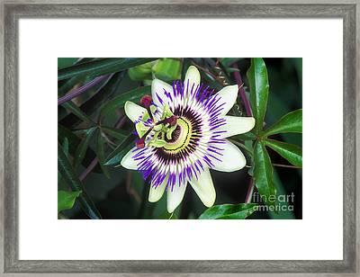 Passion Flower Passiflora Sp Framed Print