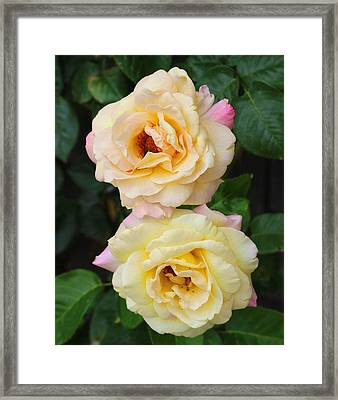 Peace Roses Framed Print by Cathy Lindsey