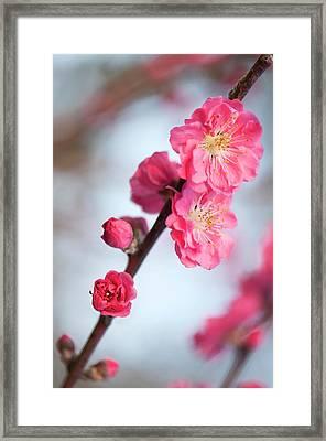 Peach (prunus Persica 'red Baron') Framed Print by Maria Mosolova