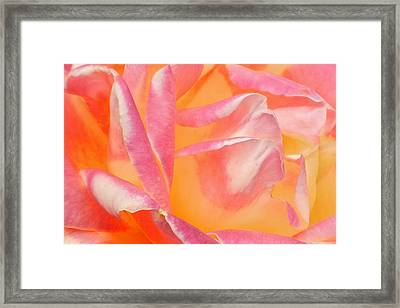 Peachy Pink Rose Framed Print by Virginia Forbes